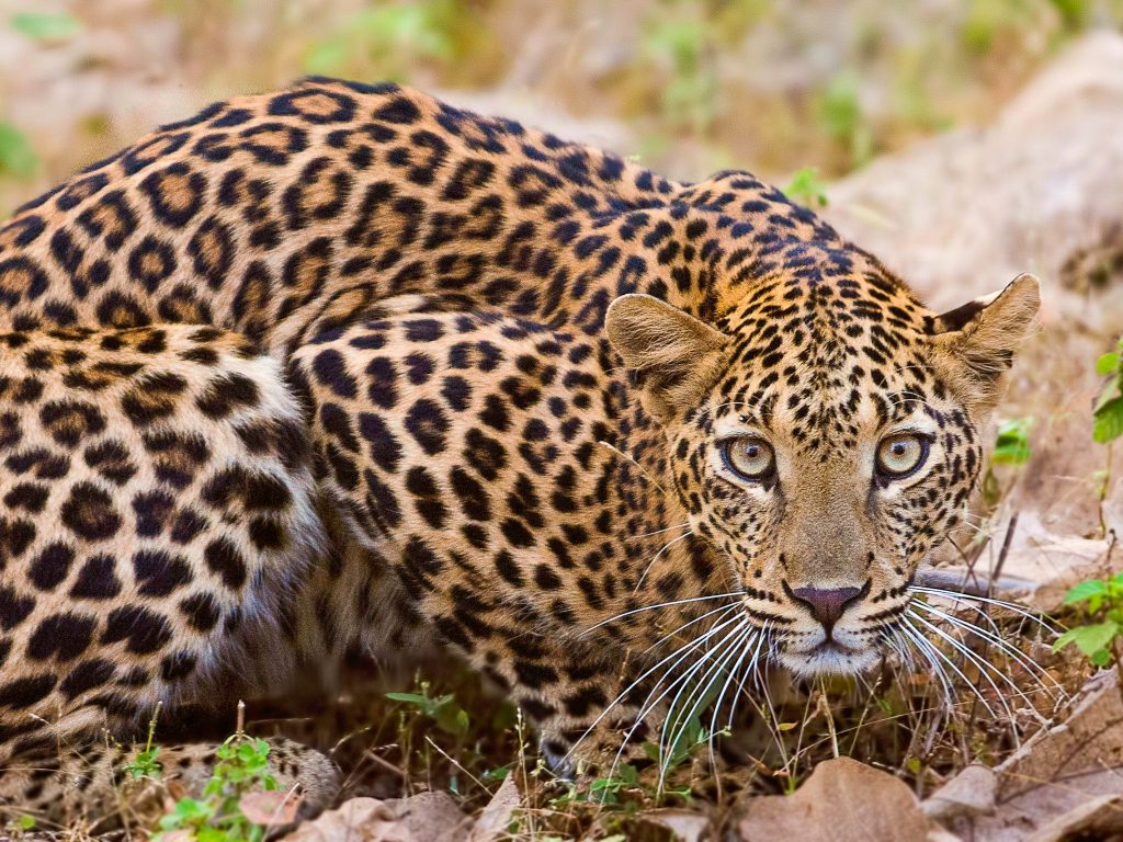 Drones and trained elephants deployed to find runaway leopard in India